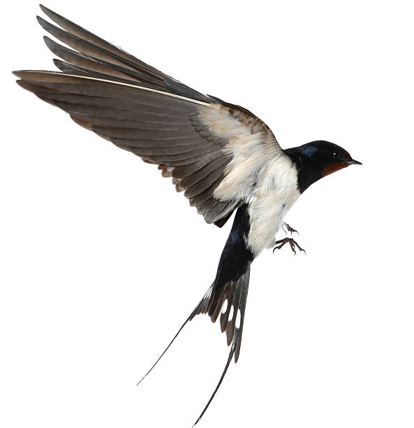 swallow - bird stock photos and pictures