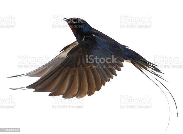 Swallow picture id175426396?b=1&k=6&m=175426396&s=612x612&h=qljxdgms4dh4er2ea9ay5wk7t2vnbrfb3so3z 1sdau=