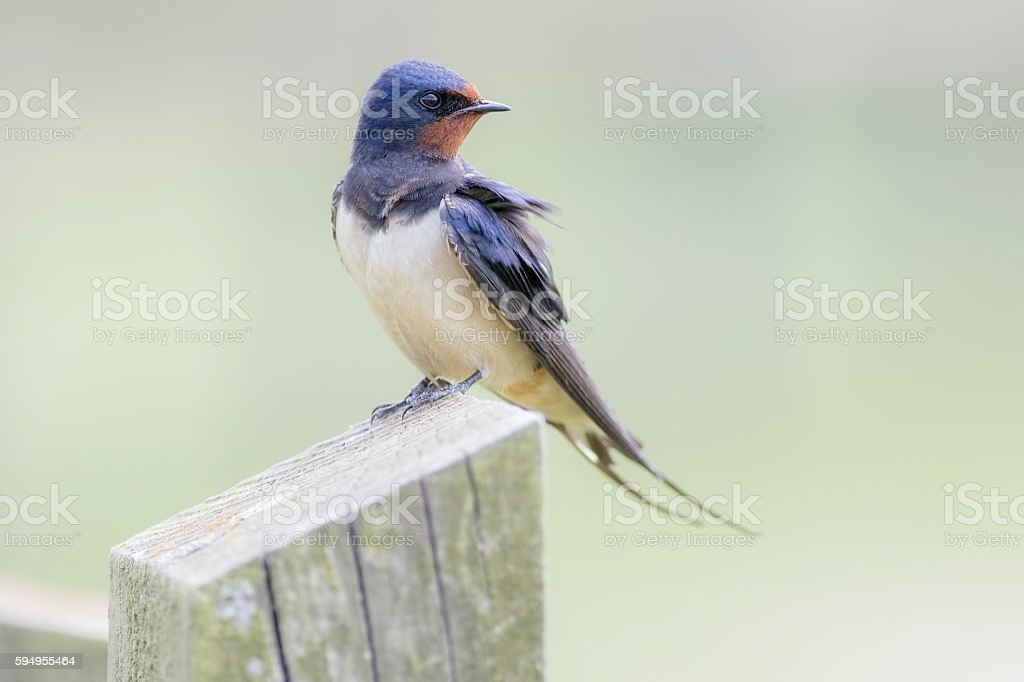Swallow resting on fence post stock photo