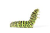 istock Swallow tail butterfly caterpillar 02 116017640