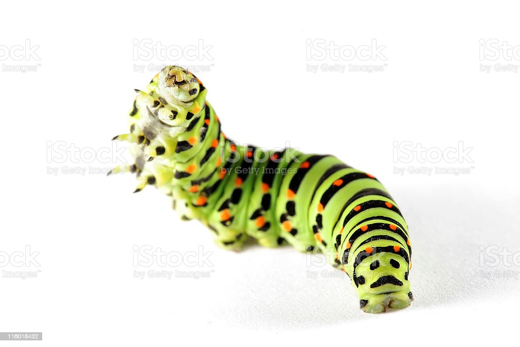 Borboleta cauda de andorinha caterpillar 07 - foto de acervo