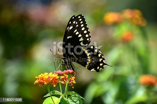 Flying insect with brown yellow wings in garden