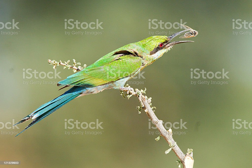 Swallow tailed bee eater perching on branch stock photo