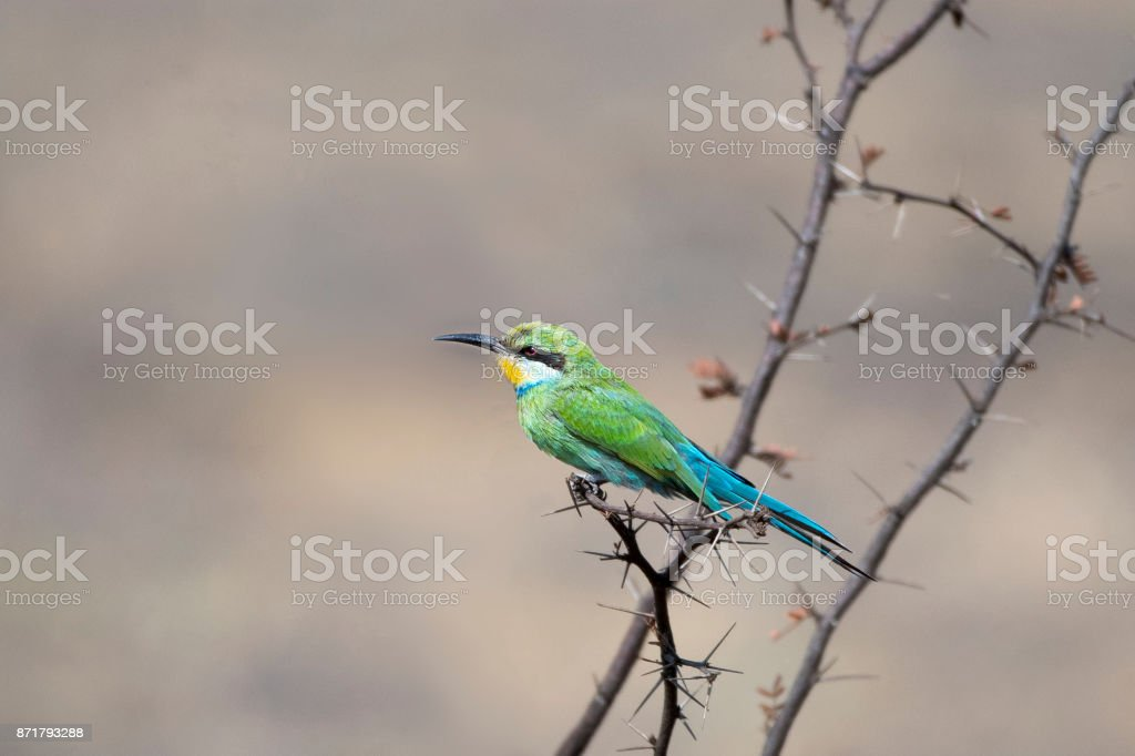 Swallow Tailed Bee Eater stock photo