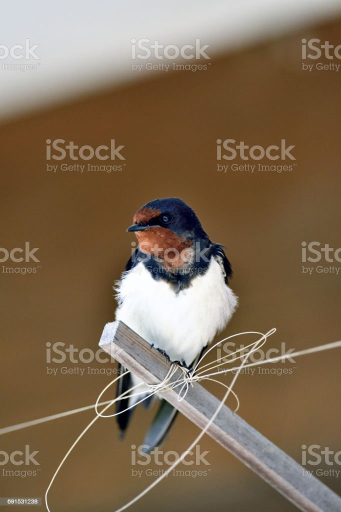 Swallow under the eaves stock photo