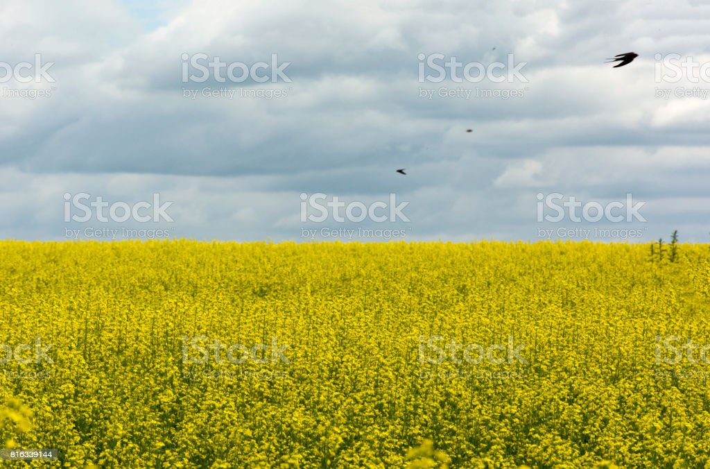 swallows, birds, Swifts, fly over a field of yellow rapeseed flowers under sky with clouds stock photo