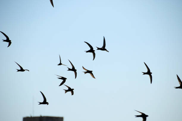 swallows flying int the sky - rondine foto e immagini stock