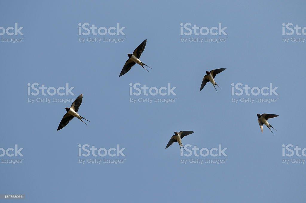 Swallows flying stock photo