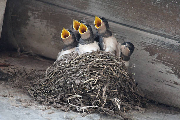 Swallows in nest stock photo