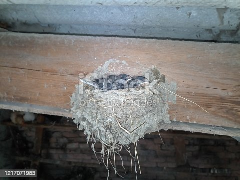 Swallow's nest with chicks on the board rafters the roof of the shed.