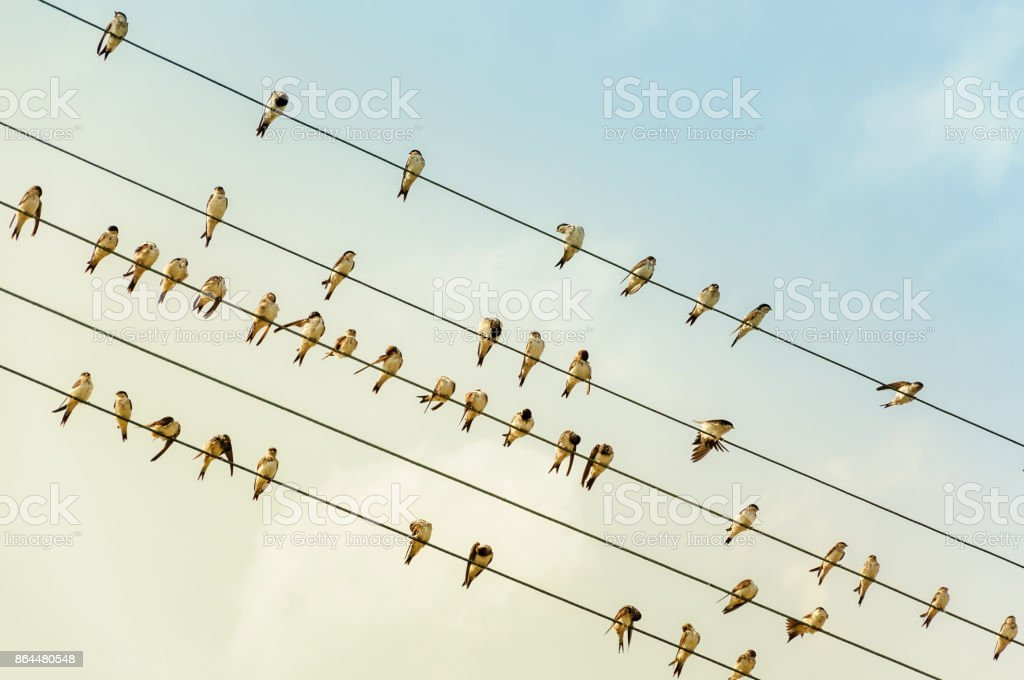 Swallows on a wire - power line - in the evening sun stock photo