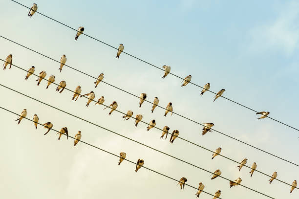 swallows on a wire - power line - in the evening sun - rondine foto e immagini stock