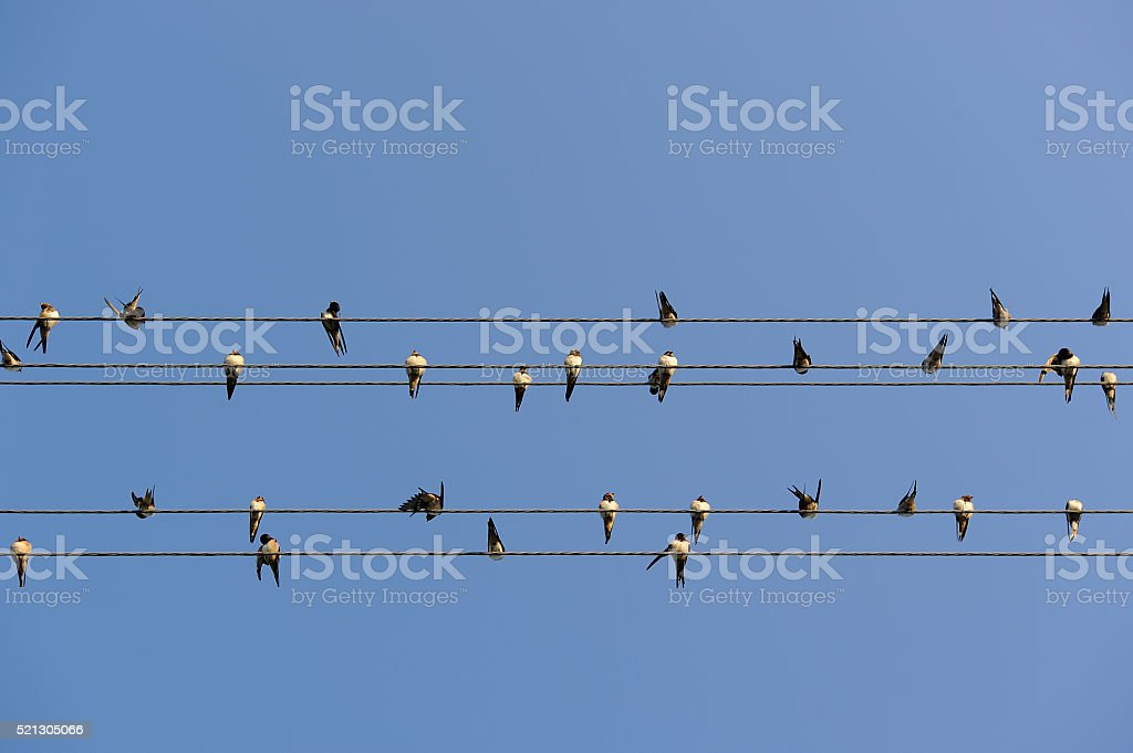 Swallows on Power Lines stock photo