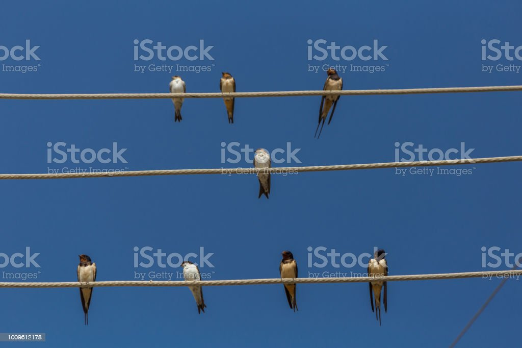 swallows on the wire autumn waiting blue sky
