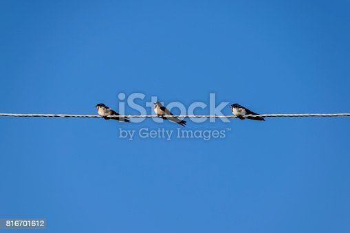 istock Swallows on the wires. Swallows against the blue sky. The swallo 816701612
