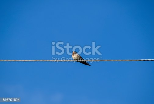istock Swallows on the wires. Swallows against the blue sky. The swallo 816701624