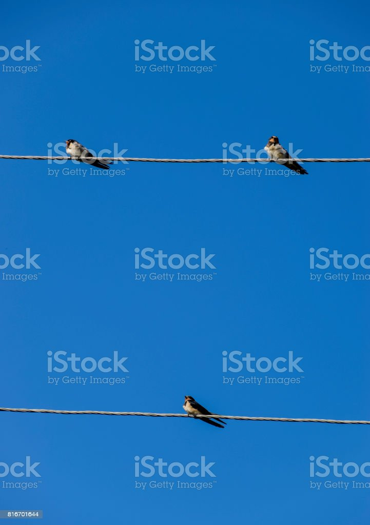 Swallows on the wires. Swallows against the blue sky. The swallow is...