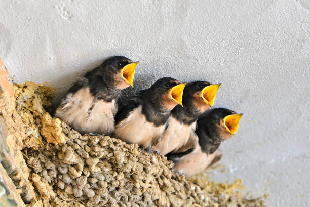 swallows - zanger vogel stockfoto's en -beelden