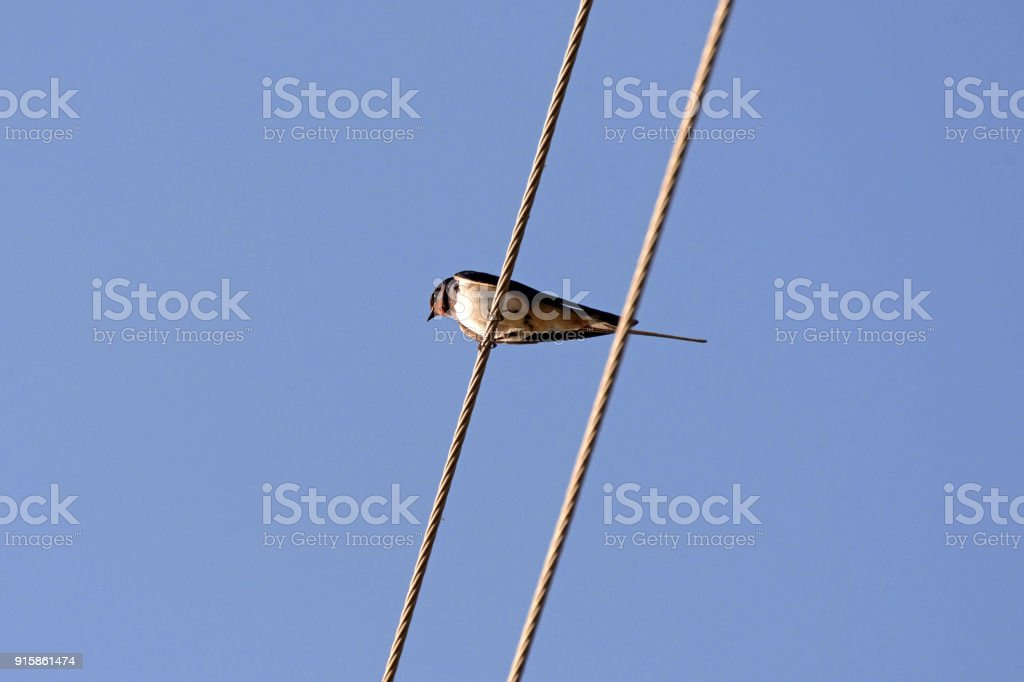 Swallows sitting on wires and rest against the blue sky stock photo