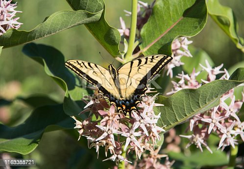 Swallowtail black and yellow tiger butterfly on blooming showy milkweed flower bush in Colorado, USA