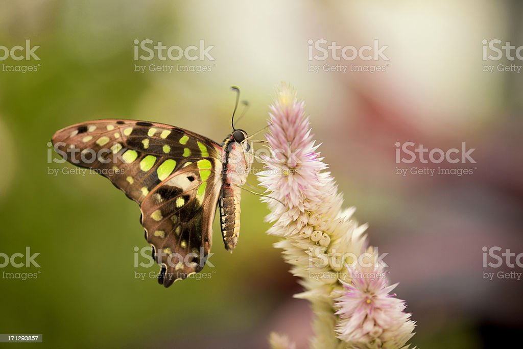 Swallowtail Butterfly and flower royalty-free stock photo