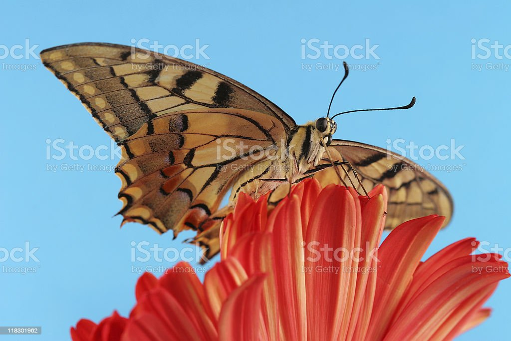 Swallowtail butterfly and gerbera stock photo