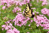 An Eastern tiger swallowtail butterfly in the garden in summer.