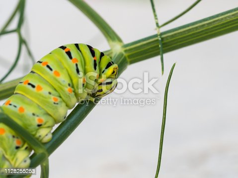 Swallowtail butterfly (Papilio machaon) caterpillar feeding on a wild fennel plant
