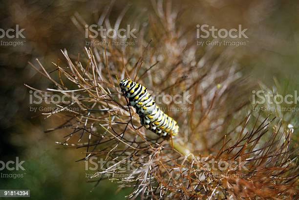 Swallowtail butterfly caterpillar picture id91814394?b=1&k=6&m=91814394&s=612x612&h=skgxhqqqsxbog7cknpdodi24bveg0zpzm8hplevu n0=