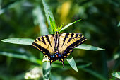 istock Swallowtail Butterfly close up 1177458033
