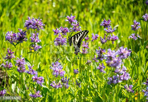 Pale Swallowtail Butterfly in a high alpine meadow blooming with Meadow Penstemon near the Lake Tahoe area, Western Sierra Nevada. Soda Springs, California.