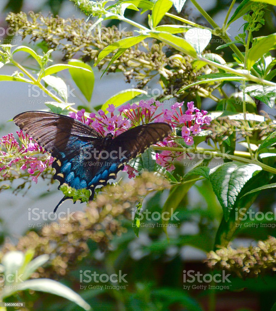 Swallowtail Butterfly Feeding off a Butterfly Bush royalty-free stock photo