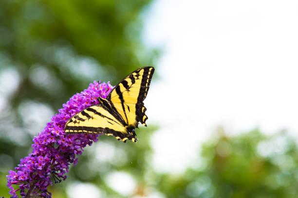 Swallowtail butterfly feeding on butterfly bush flowers in summer picture id1141106710?b=1&k=6&m=1141106710&s=612x612&w=0&h=keu8r5wxaz hidfoerbeklaolc3f3dqjswgptly2mj8=