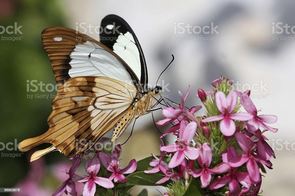 Swallowtail Butterfly Feeding royalty-free stock photo