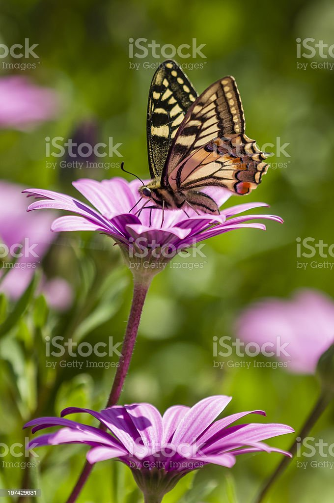 Swallowtail butterfly in a purple daisy field royalty-free stock photo