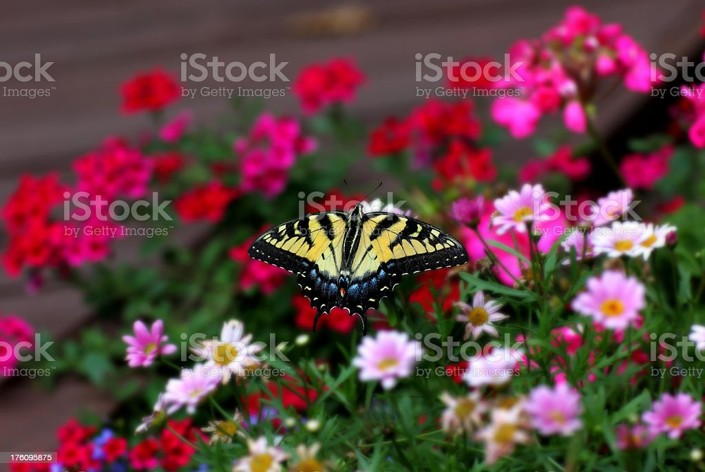 Swallowtail Butterfly in Garden royalty-free stock photo