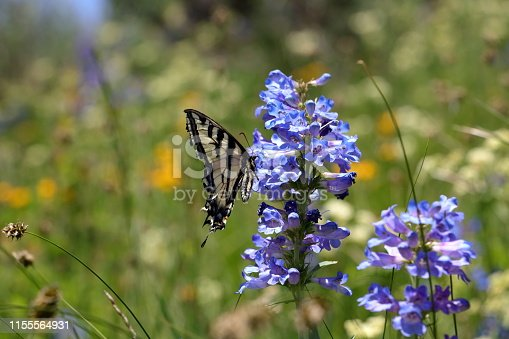 The two-tailed Swallowtail butterfly sits on a mountain bluebell flower early in the summer wildflower season in the Wasatch Mountains near Park City, Utah.