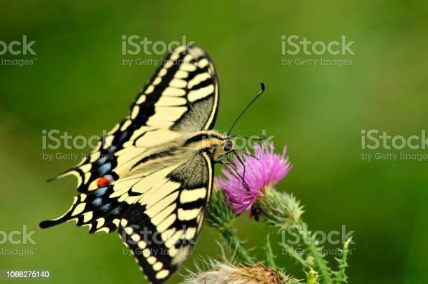 Swallowtail butterfly old world swallowtail picture id1066275140?b=1&k=6&m=1066275140&s=612x612&h=sbh5wuxw2d81luvwm fahjcte0srmupzzau4nny1i3u=