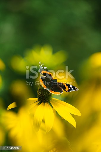 Multi colored butterfly feeding on a flower