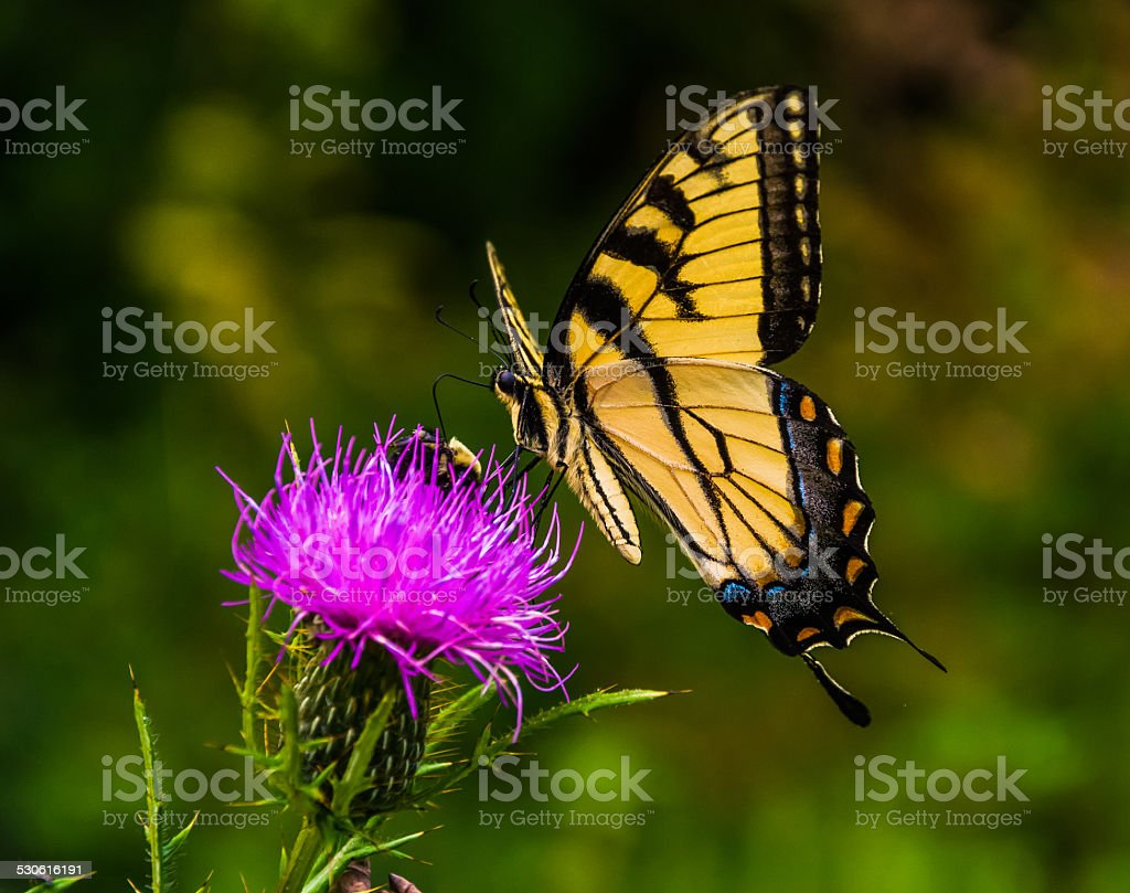 Swallowtail butterfly on a thistle in Shenandoah National Park, stock photo