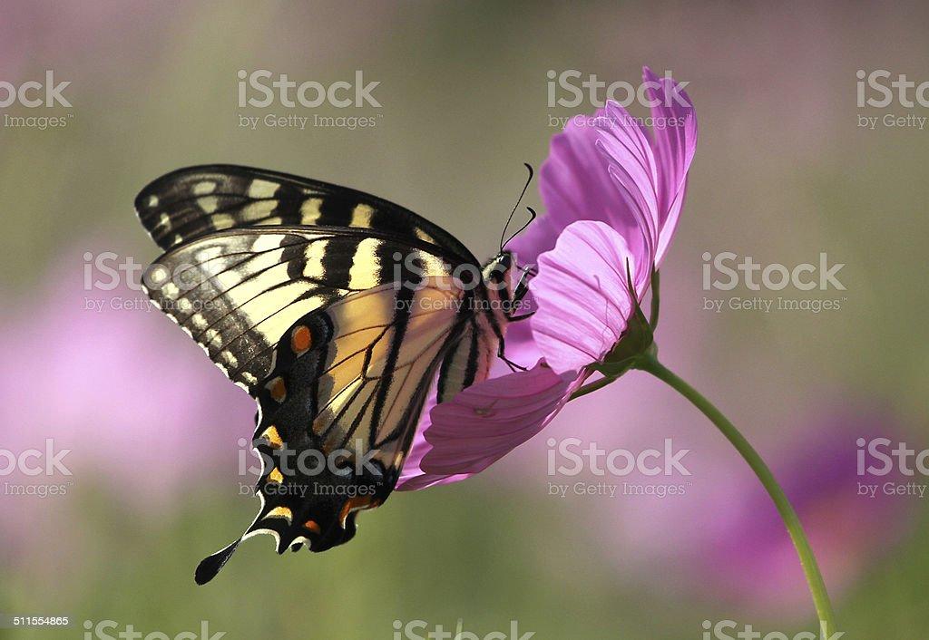 Swallowtail butterfly on cosmos in profile stock photo