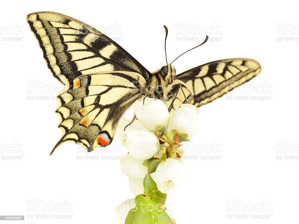 Swallowtail Butterfly on Flowers stock photo