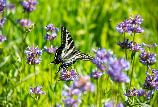 Pale Swallowtail Butterfly in a high alpine meadow with Meadow Penstemon in bloom near the Lake Tahoe area, Western Sierra Nevada. Soda Springs, California.