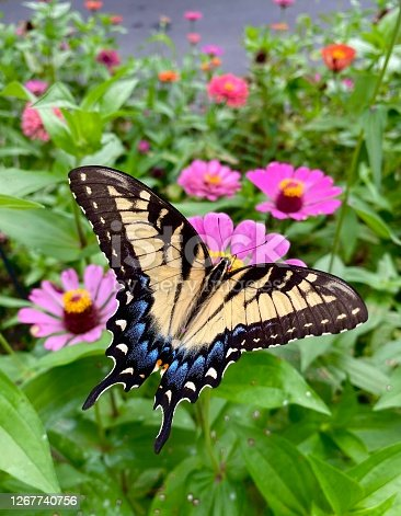 Closeup of a swallowtail butterfly on a pink zinnia blossom