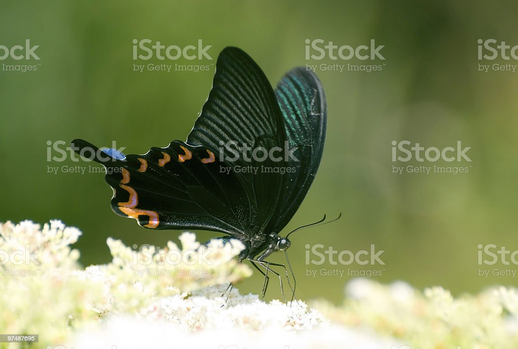 Swallowtail butterfly on the flower royalty-free stock photo