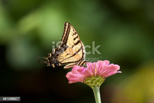 A Two-tailed Swallowtail Butterfly (Papilio multicaudata) lands on a zinnia bloom in a garden in Utah, USA.
