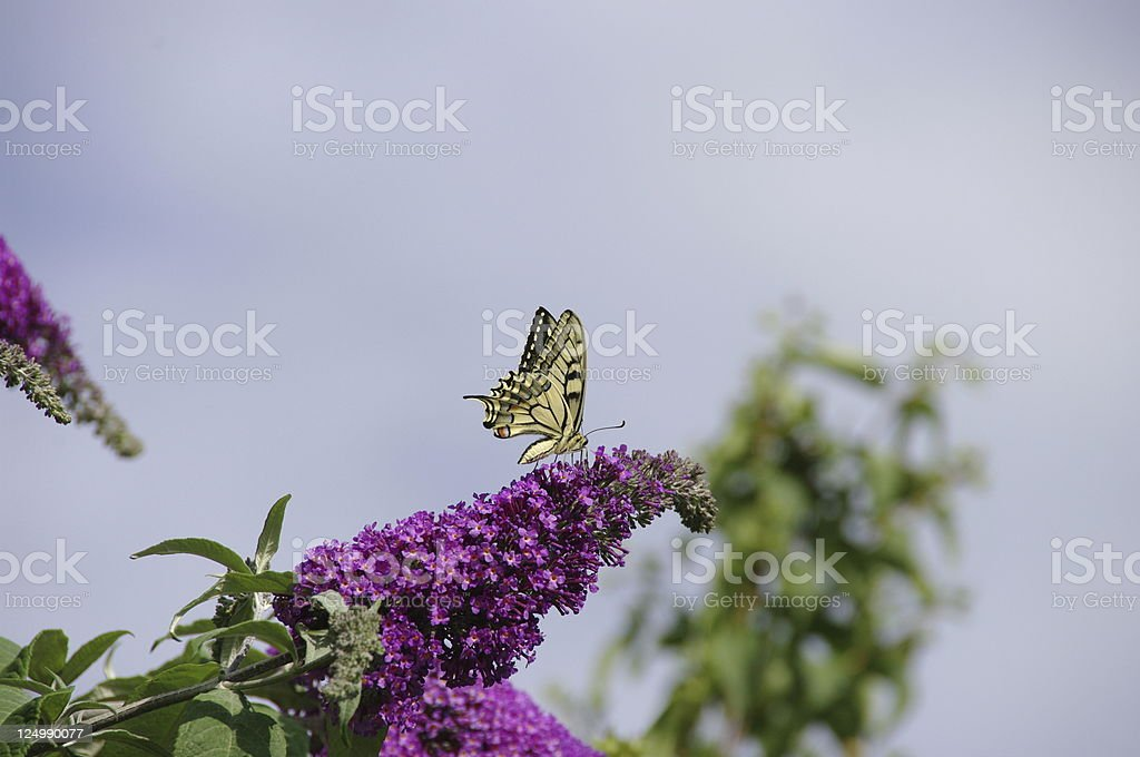 swallowtail butterfly royalty-free stock photo