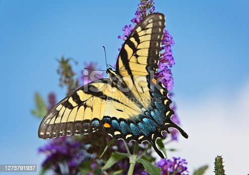 Swallowtail butterfly gathering nectar from flowers of a butterfly bush.