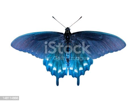 Pipevine Swallowtail Butterfly (Battus philenor) on white background with clipping path