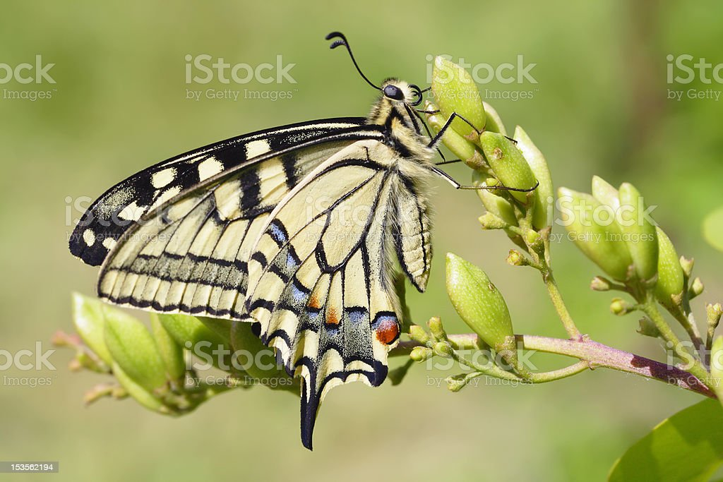 Swallowtail (Papilio machaon) butterfly royalty-free stock photo